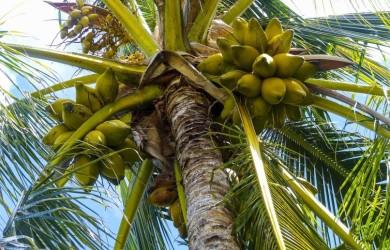Palma kokosowa - woda z wnętrza kokosa